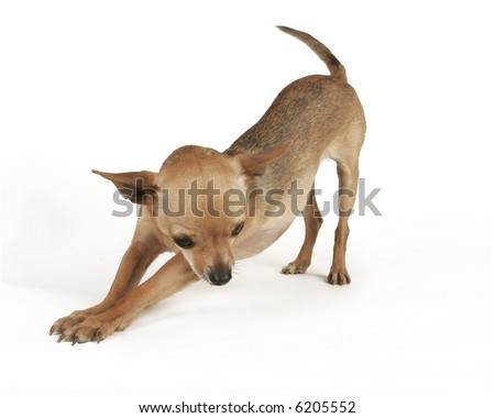 a tiny chihuahua stretching on a white background - stock photo