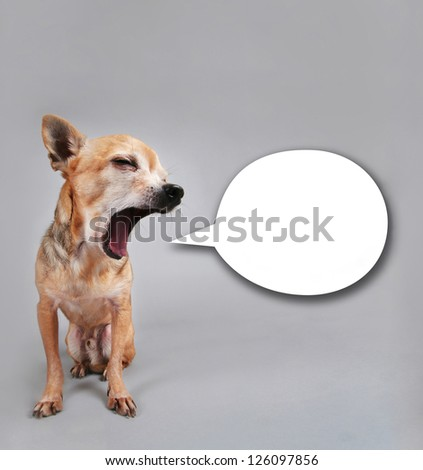 a tiny chihuahua talking with a speech bubble - stock photo