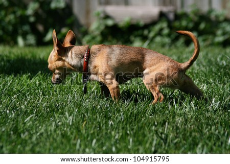 a tiny chihuahua urinating in the grass
