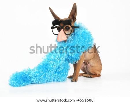 a tiny chihuahua wearing a blue boa - stock photo