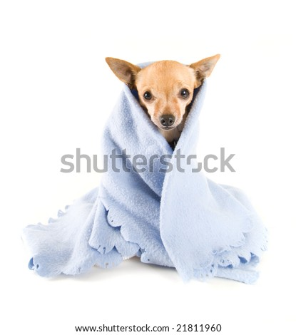 a tiny chihuahua with a blue blanket on - stock photo