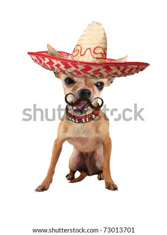 a tiny chihuahua with a sombrero hat on - stock photo