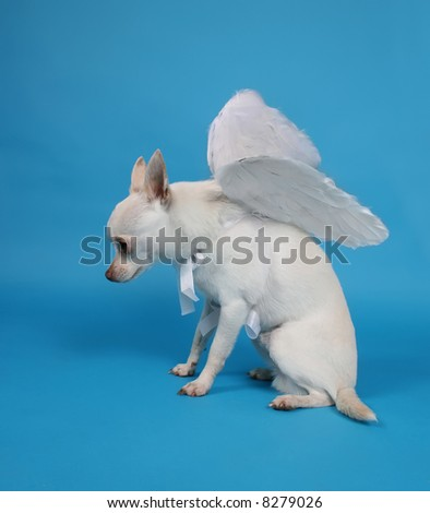 a tiny chihuahua with angel wings - stock photo