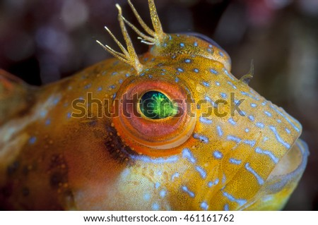 A tiny fish called a seaweed blenny looks up in the waters of the Bahamas.