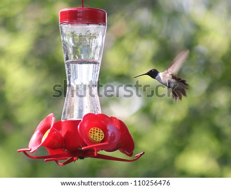 a tiny hummingbird getting a drink at a backyard feeder full of sugar water nectar - stock photo