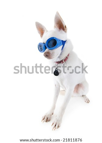 a tiny white chihuahua with goggles on - stock photo
