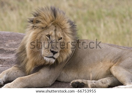 A tired male lion returns to the pride after days of being away. - stock photo