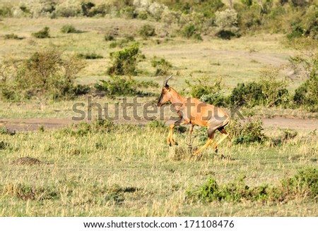 A Topi antelope running in the grassland of Masai Mara - stock photo