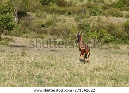 A Topi antelope running on the grassland - stock photo
