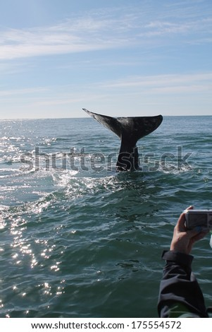 A tourist takes a photo of a diving gray whale bringing up its flukes in a lagoon in Baja Mexico - stock photo