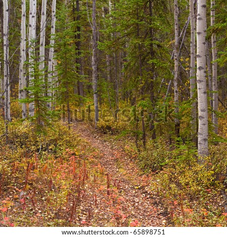 A Trail leads deeper into a fall-colored boreal forest (aspen, Populus tremuloides)  in Yukon Territory, Canada. - stock photo