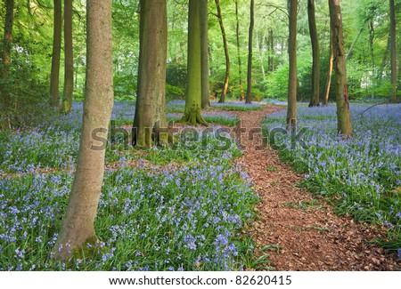 A trail through bluebell woods in England at their peak of their bloom. - stock photo