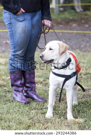 A trainer is standing beside a golden retriever guide dog during the last training for the animal. The dogs are undergoing various trainings before finally given to a blind person.