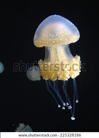 A translucent jellyfish is swimming in clear water. - stock photo