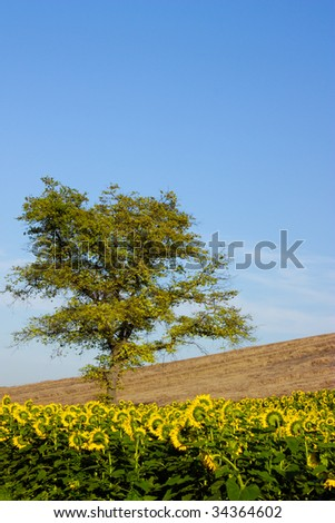 A tree between a sunflower and wheat field. - stock photo