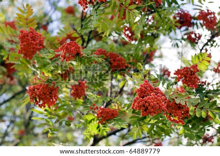 A tree blooming with Rowan berries in the fall - stock photo