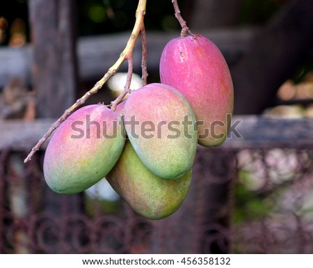 A tree branch with ripening Irwin mango fruits.