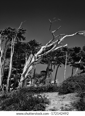 A tree on California's Pacific coast after a lifetime of being swept by the strong ocean winds. - stock photo