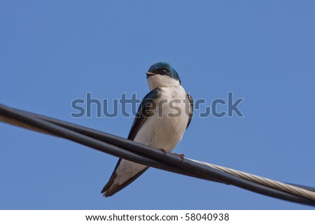 A Tree Swallow -Tachycineta bicolor - is perched on an electric wire by a sunny day. Quebec, Canada. - stock photo