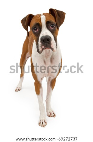 A tri-colored Boxer dog standing up and looking forward. Isolated on white - stock photo