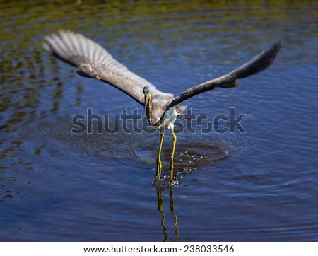 A Tri-colored Heron hunts for food in a pond. - stock photo