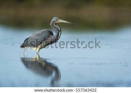 A Tri-colored Heron wades in the shallows in search of food in the soft morning sun.