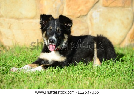 A tricolor border collie puppy 4 months old dog laid down on grass - stock photo
