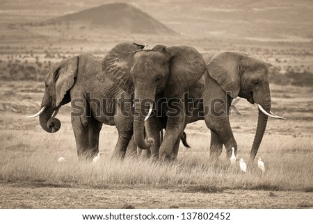 A trio of African elephants in sepia