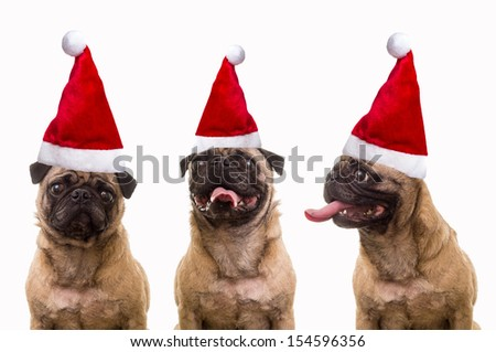 A trio of three cute pug dogs wearing Santa hats for Christmas over white background. - stock photo