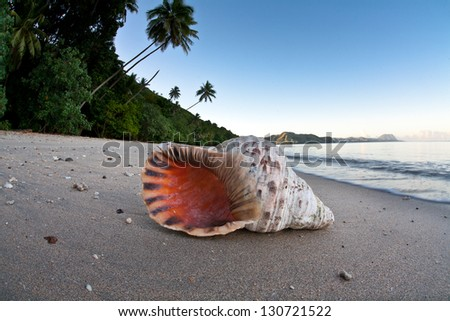 A Triton trumpet shell has washed ashore on a remote beach in Fiji.  These large gastropods can grow to large sizes but are becoming more and more rare. - stock photo
