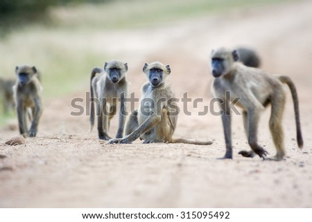 A troop of wild Baboons walking along a dirt road in the Kruger National Park, South Africa - stock photo
