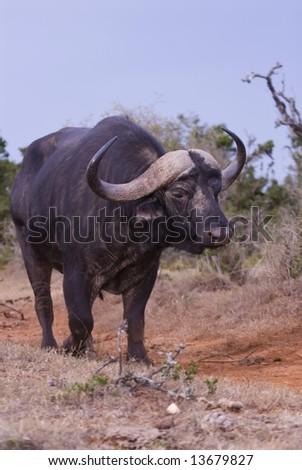 A trophy Buffalo Bull stumbles towards the photographer - stock photo