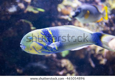A tropical Parrot Fish against a coral reef background.