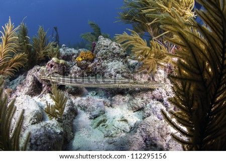 a Trumpet fish swimming amongst a coral reef in Key Largo, Florida of the florida keys with a blue water background. - stock photo