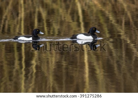 A tufted duck on the water