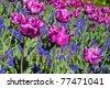 a tulip in keukenhof park in Holland - stock photo