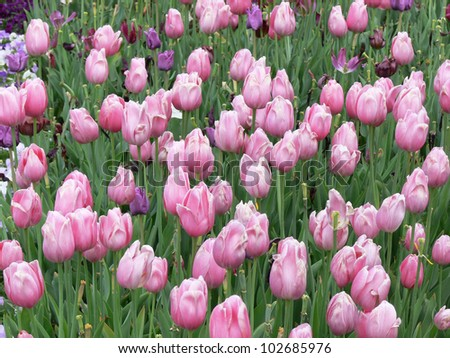 A tulip landscape with different tulips.