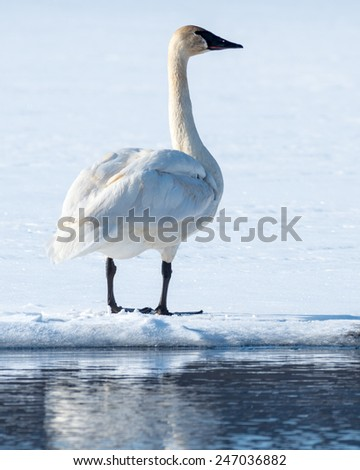 A tundra swan looks into the distance.
