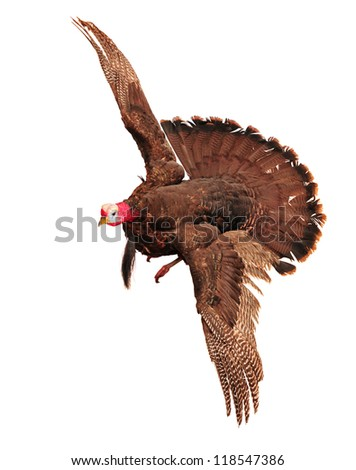 A turkey in flying motion isolated in white for Thanksgiving.