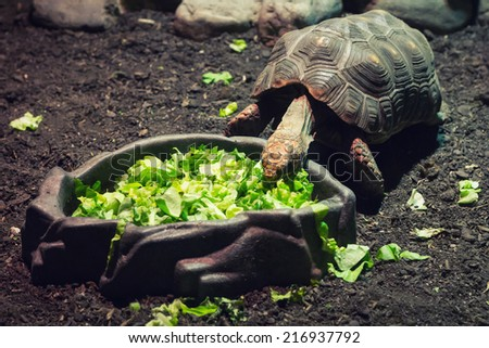 A turtle eating salad