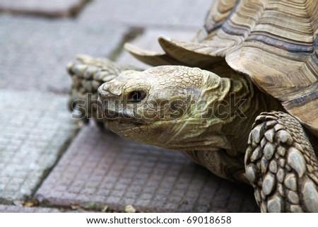 A twenty years old turtle - stock photo