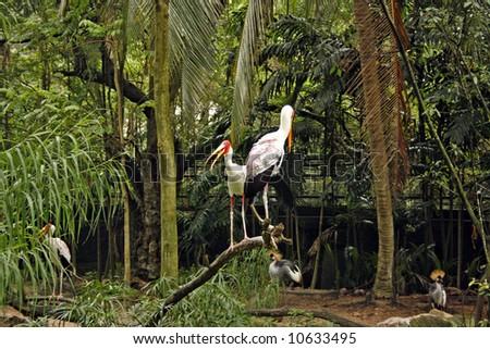 A twin Saddlebill stork - stock photo