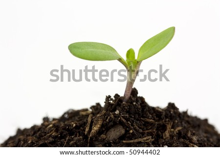 A two leaf seedling sprouting from a mound of soil