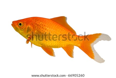 a type of goldfish known as a comet