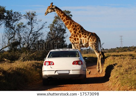 A typical African scene: white car driving on a gravel road and big giraffe crossing