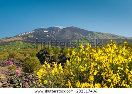 A typical broom plant of Mount Etna with a view of the volcano