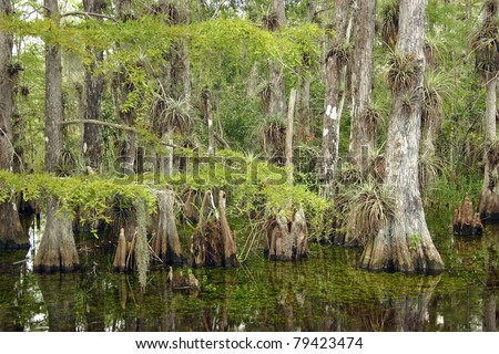 A typical cypress forest in Everglades National Park, Florida - stock photo