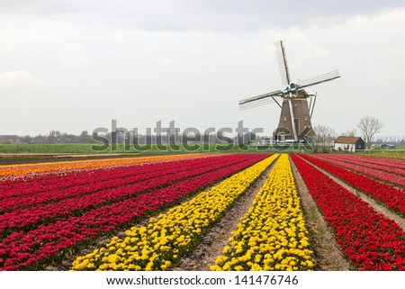 A typical Dutch composition of a mill with red and yellow flowering Tulip fields in the foreground - stock photo