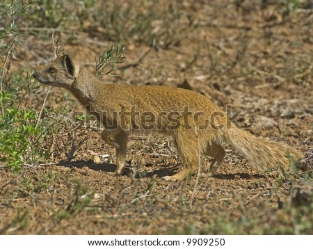 A typical Mongoose is a brave killer of poisonous snakes - stock photo