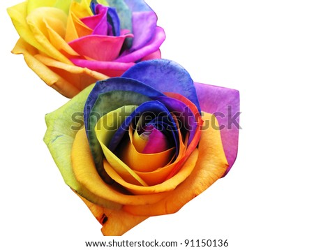 A unique and very special rainbow roses, isolated in white - stock photo